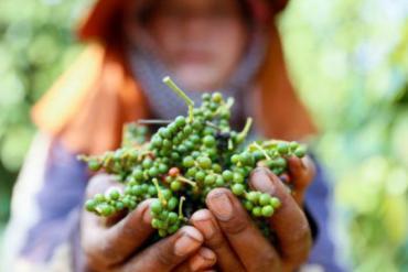 Tiêu Campuchia đắt gấp 3 lần tiêu Việt